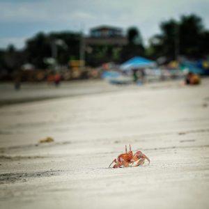 Mompiche - crab on the Beach